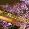 都内で夜桜デート!おすすめスポットは?服装はどうする?