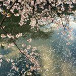 大岡川に桜を見に行こう!屋台やクルーズ、ライトアップまで見どころ満載