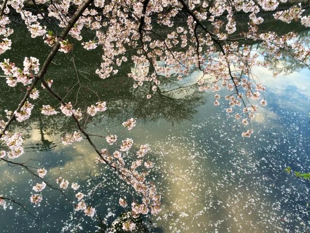 oookagawa-sakura