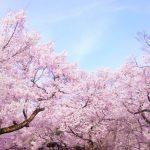 横浜の花見を子連れで楽しむ!花見が出来る公園でおすすめは?
