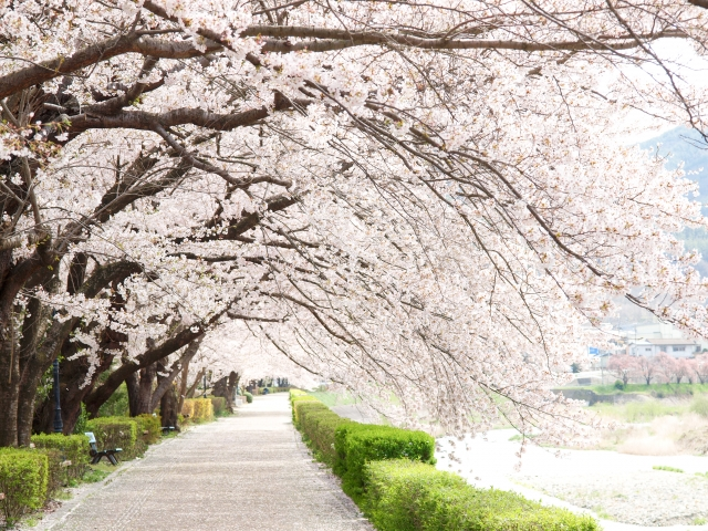 sakura-namiki