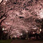 夜桜のライトアップがキレイな神奈川の名所は?夜桜デートをするならココ!