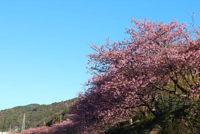 kawazuzakura1