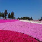 羊山公園の芝桜の混雑具合は?行き方&何時までに行くべき?